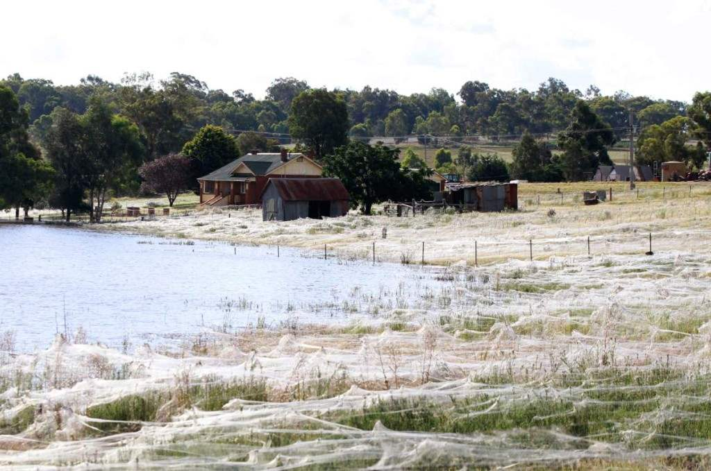 An Australian town is covered in what looks like snow but it is actually spider web.